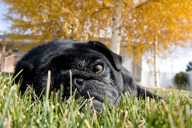 lazy_autumn_pug___contest_entr_by_tlbendele1.jpg