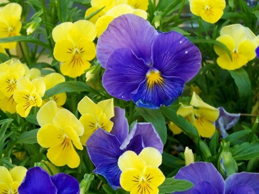 1275817837_pansies-1.jpg