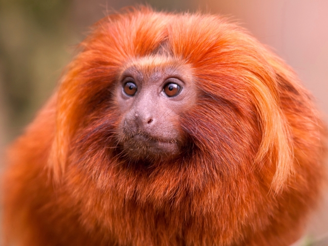 animals_monkeys_ginger_monkey_034205_.jpg