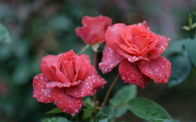 nature___flowers_rose_in_the_morning_dew_042326_.jpg