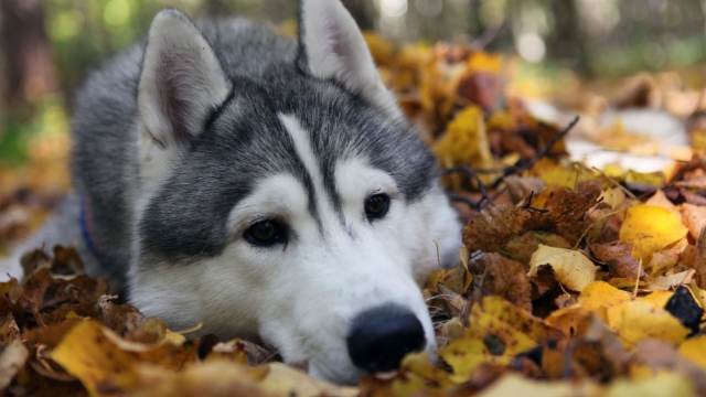 dog_husky_autumn_foliage_lie_face_1021_1920x1080.jpg