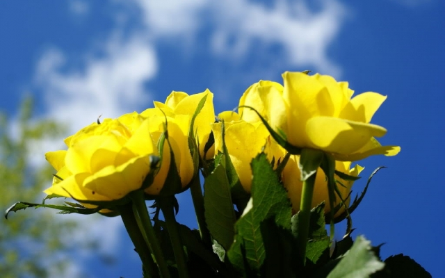 yellow-roses-rose-flower-pictures-332.jpg