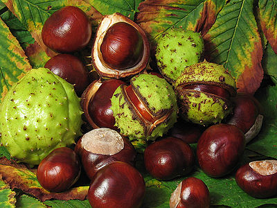 78441996_aesculus_fruit.jpg