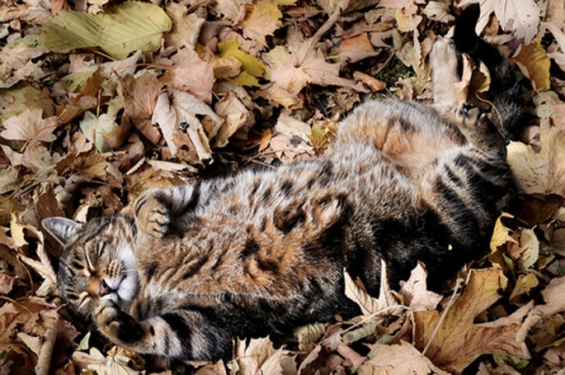 adorable_felines_having_a_blast_in_the_fall_leaves_640_11.jpg