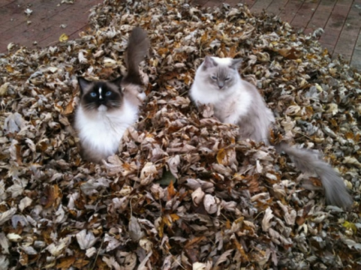 adorable_felines_having_a_blast_in_the_fall_leaves_640_13.jpg