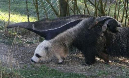 anteaters_optical_illusion_640_03.jpg