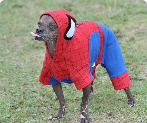mugly-the-ugliest-dog-gets-dressed-up...-to-protect-his-hairless-skin-from-the-elements-1.jpg