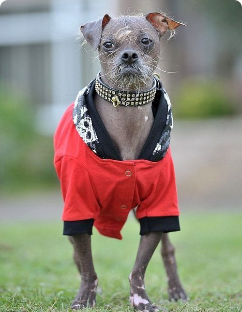 mugly-the-ugliest-dog-gets-dressed-up...-to-protect-his-hairless-skin-from-the-elements-3.jpg