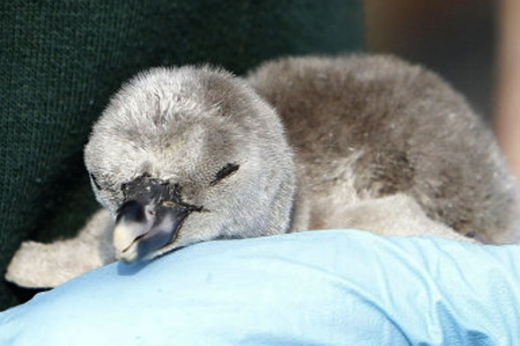 penguin-chick-adopted-by-will-kate-590kk.jpg