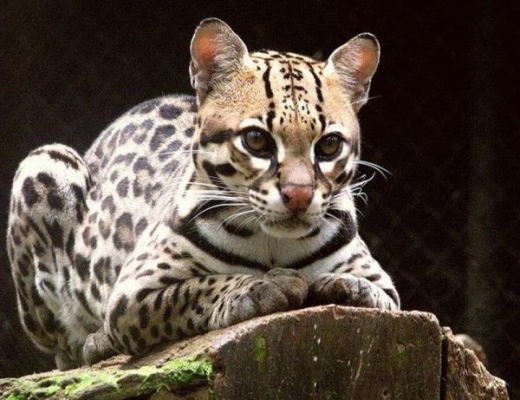 stunningly_beautiful_ocelot_cat_640_06.jpg