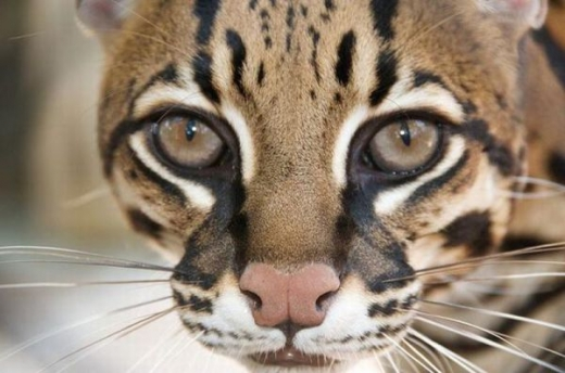 stunningly_beautiful_ocelot_cat_640_07.jpg