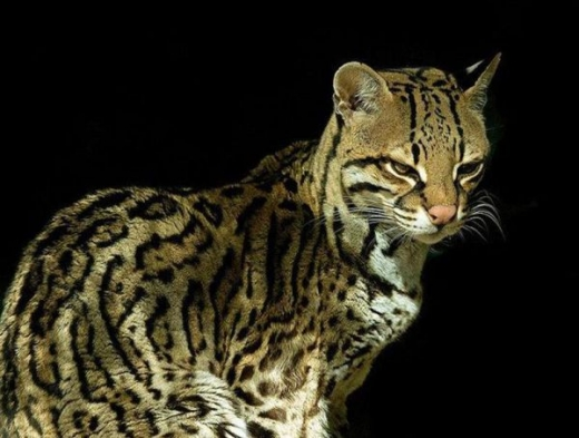 stunningly_beautiful_ocelot_cat_640_09.jpg