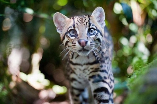 stunningly_beautiful_ocelot_cat_640_10.jpg
