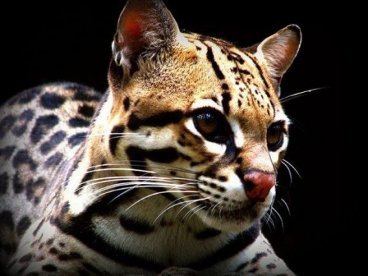 stunningly_beautiful_ocelot_cat_640_12.jpg