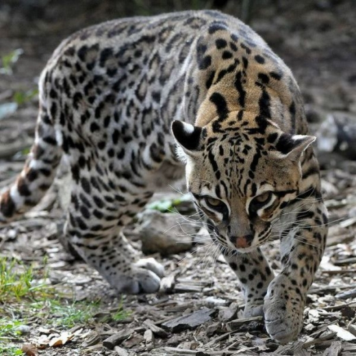 stunningly_beautiful_ocelot_cat_640_14.jpg