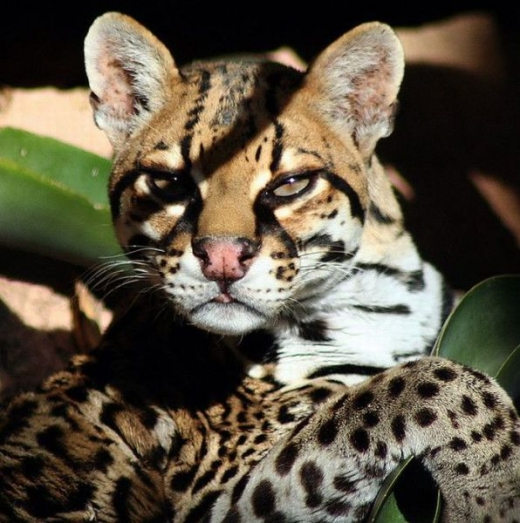 stunningly_beautiful_ocelot_cat_640_15.jpg
