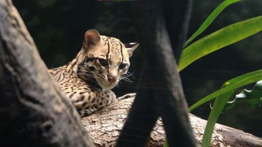 stunningly_beautiful_ocelot_cat_640_16.jpg