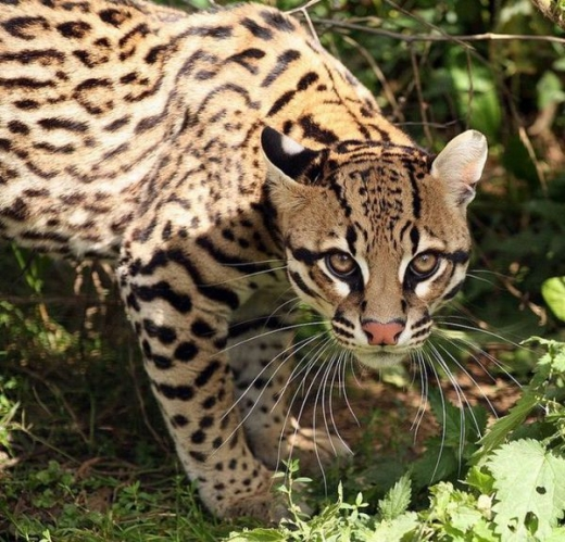 stunningly_beautiful_ocelot_cat_640_18.jpg