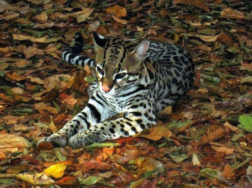 stunningly_beautiful_ocelot_cat_640_20.jpg