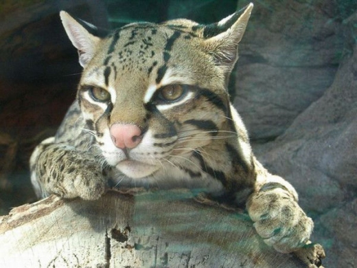 stunningly_beautiful_ocelot_cat_640_21.jpg
