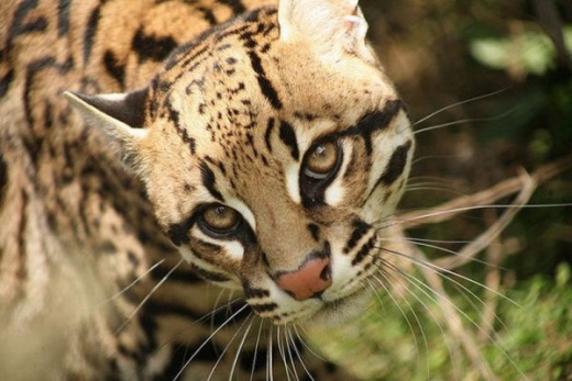 stunningly_beautiful_ocelot_cat_640_22.jpg