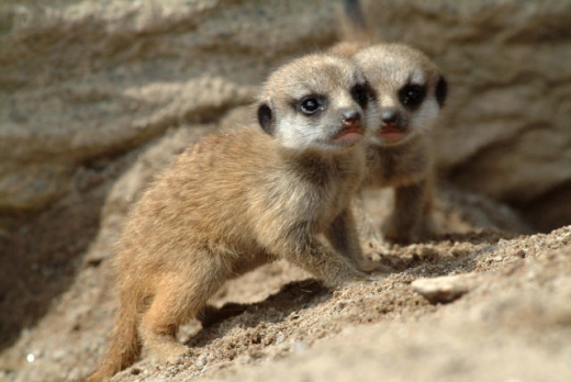 the_most_adorable_baby_meerkat_photos_ever_put_online_640_01.jpg