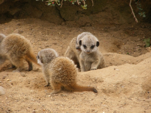 the_most_adorable_baby_meerkat_photos_ever_put_online_640_02.jpg