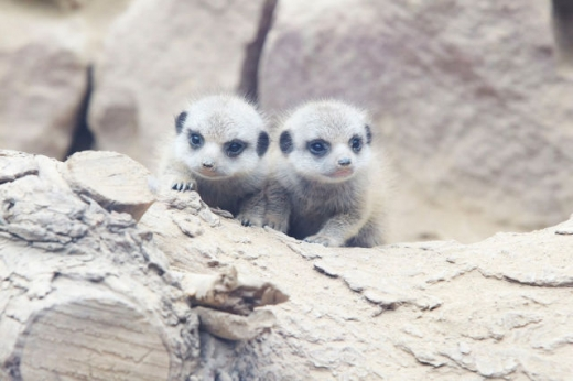 the_most_adorable_baby_meerkat_photos_ever_put_online_640_03.jpg