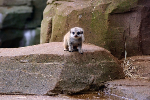 the_most_adorable_baby_meerkat_photos_ever_put_online_640_04.jpg