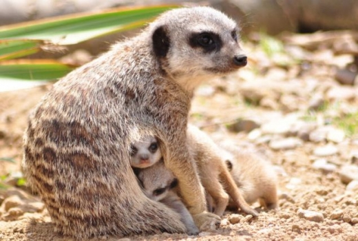 the_most_adorable_baby_meerkat_photos_ever_put_online_640_05.jpg