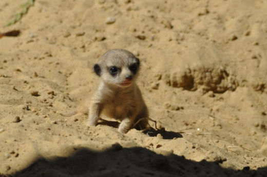 the_most_adorable_baby_meerkat_photos_ever_put_online_640_06.jpg