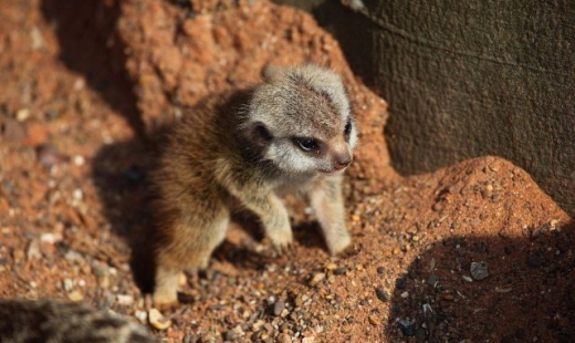 the_most_adorable_baby_meerkat_photos_ever_put_online_640_07.jpg