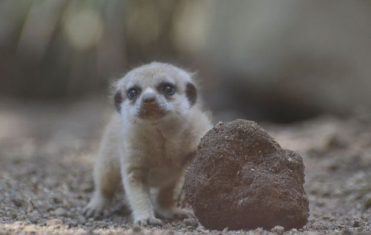 the_most_adorable_baby_meerkat_photos_ever_put_online_640_08.jpg