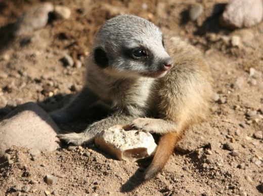 the_most_adorable_baby_meerkat_photos_ever_put_online_640_09.jpg