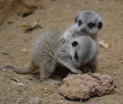 the_most_adorable_baby_meerkat_photos_ever_put_online_640_10.jpg