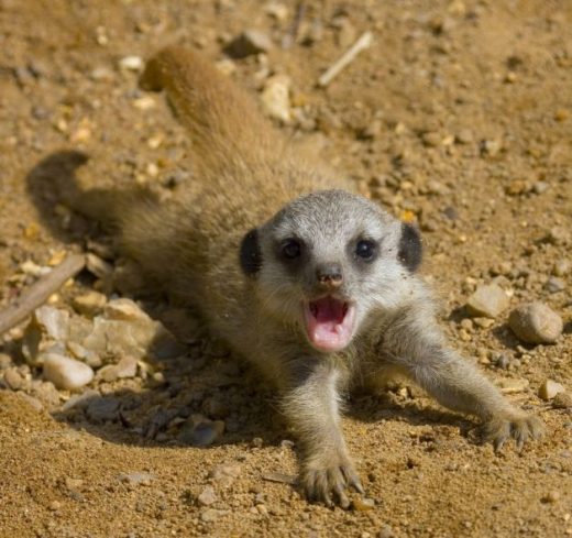 the_most_adorable_baby_meerkat_photos_ever_put_online_640_15.jpg