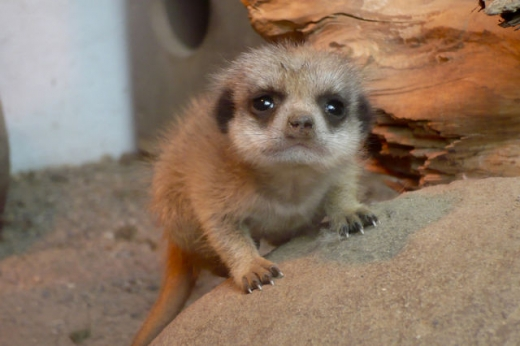 the_most_adorable_baby_meerkat_photos_ever_put_online_640_16.jpg