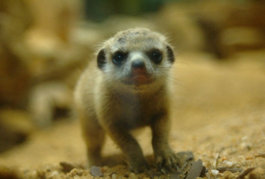 the_most_adorable_baby_meerkat_photos_ever_put_online_640_17.jpg