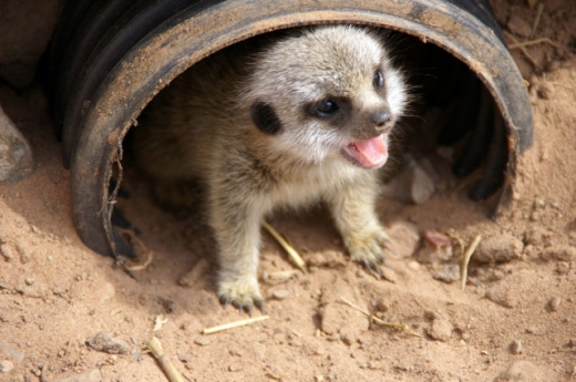 the_most_adorable_baby_meerkat_photos_ever_put_online_640_18.jpg