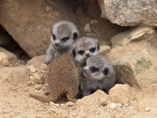 the_most_adorable_baby_meerkat_photos_ever_put_online_640_19.jpg