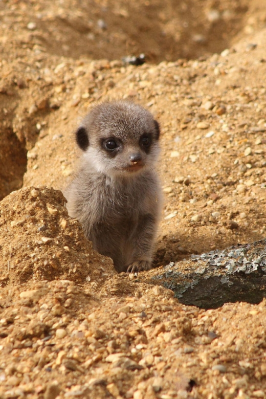 the_most_adorable_baby_meerkat_photos_ever_put_online_640_high_12.jpg