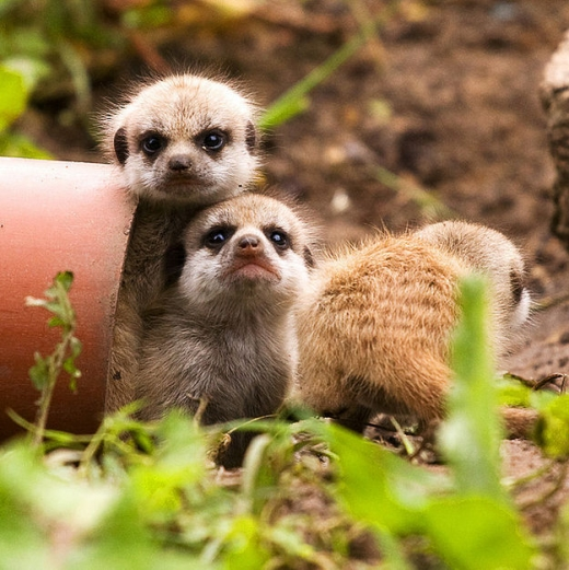 the_most_adorable_baby_meerkat_photos_ever_put_online_640_high_13.jpg