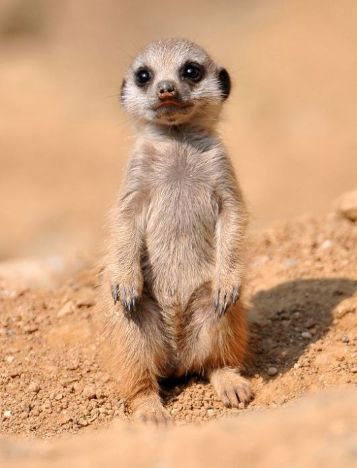 the_most_adorable_baby_meerkat_photos_ever_put_online_640_high_14.jpg
