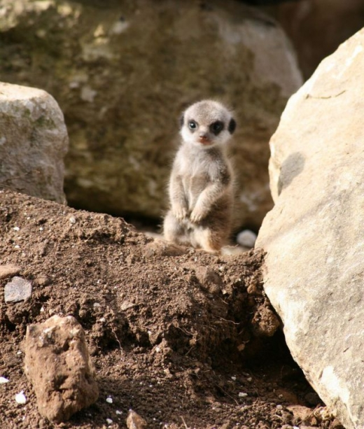 the_most_adorable_baby_meerkat_photos_ever_put_online_t9x4p_640_high_20.jpg