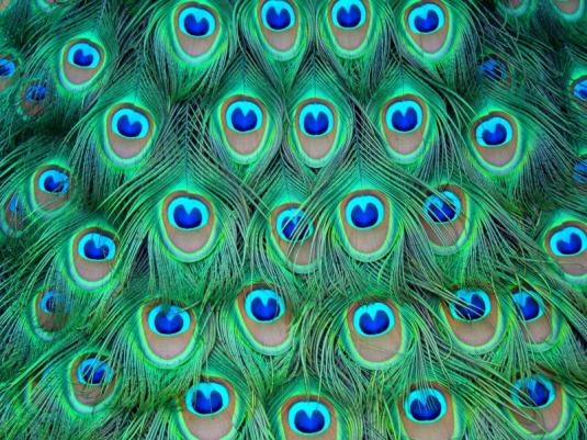 stock_280__peacock_feathers_by_alzirrswanheartstock.jpeg